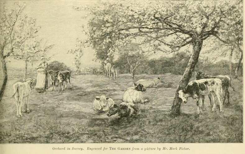 CHERRY ORCHARD | The Garden ; an illustrated weekly journal of gardening in all it's branches, London, May 8th 1897, page 329.