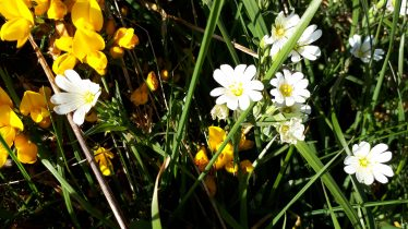Greater stitchwort and gorse on a roadside verge | Deirdre Burns