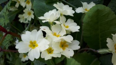 Primrose - a woodland flower and always a welcome sign of the approaching summer