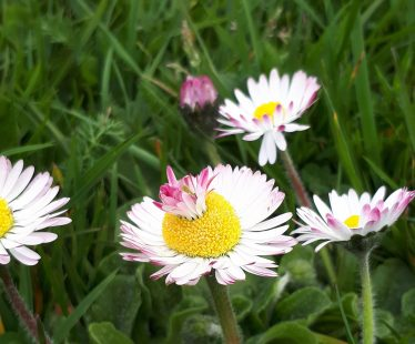 Daisy within a daisy! This caused lots of curiosity and turns out to be a phenomen of nature called a 'fascination' | Deirdre Burns