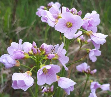 Lady's smock - Cuckoo Flower, traditionally times its arrival with the bird and is a really important foodplant for Orange Tip butterfly | Deirdre Burns
