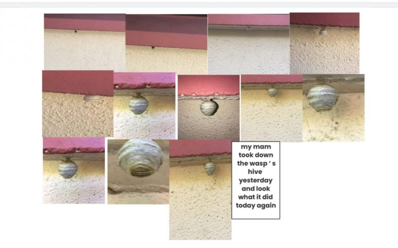 Wasp's nest stages | Lily McDonald