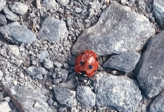 Ladybird spotted by Thomas (age 7)