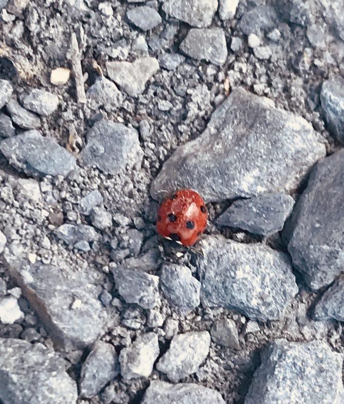 Ladybird | Thomas Fitzsimons