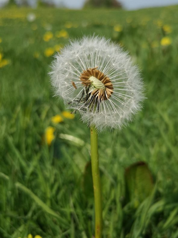 Dandlion showing seeds | Venus Barrett