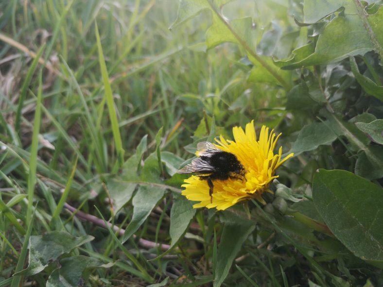 Bumblebee on dandelion | Venus Barrett