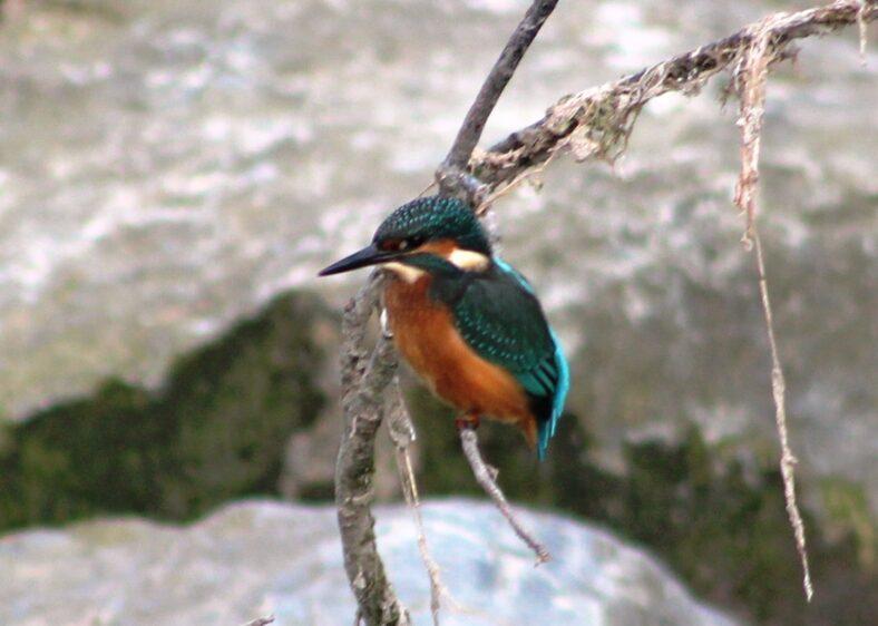Kingfisher | David Twamley