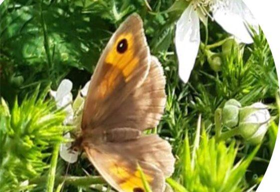 Butterfly Monitoring at Brittas Bay 2021