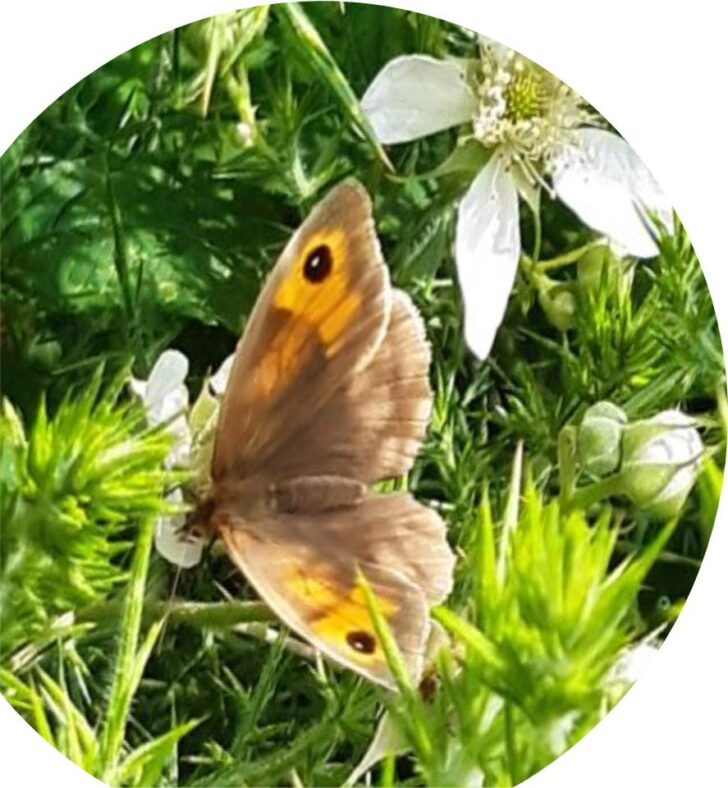 Meadow Brown Butterfly   ALC nature