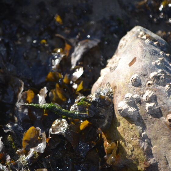 Barnacles holding on tight at low tide!   Deirdre Burns