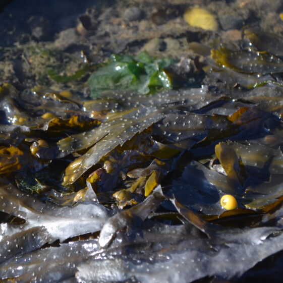 The tiny , bright yellow coloured shell of the Flat Perriwinkle was spotted on serrated wrack   Deirdre Burns