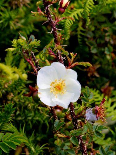 Burnet Rose | Wicklow Head Preservation Group