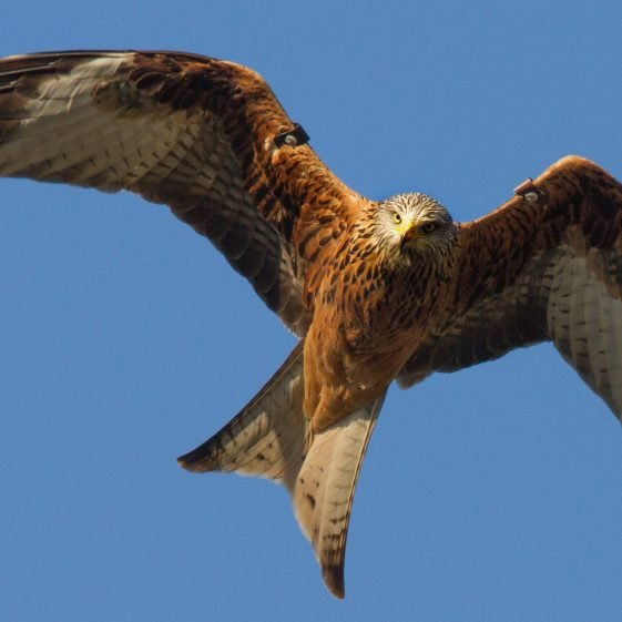 Red Kite Over Avoca River | Shay Connolly