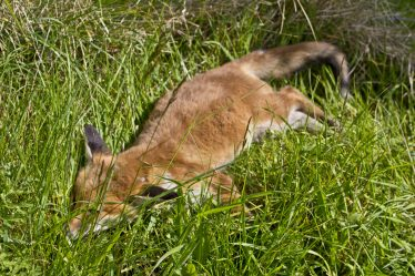 One of a Few Foxes | Wicklow Head Preservation Group