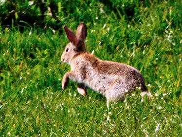 One of Many Rabbits | Wicklow Head Preservation Group