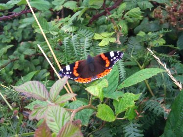 Admiral Butterfly | Wicklow Head Preservation Group