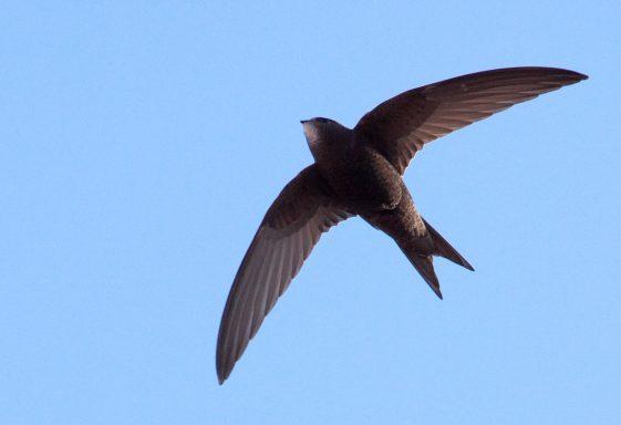Wicklow Swift Survey