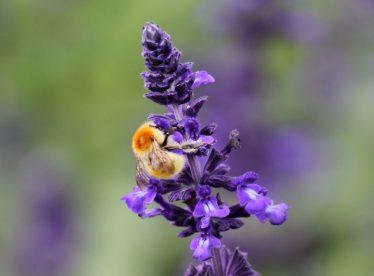 Bee on Lavender   Andrea MacDonagh
