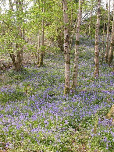 Bluebell Carpet in Wood | Faith Wilson