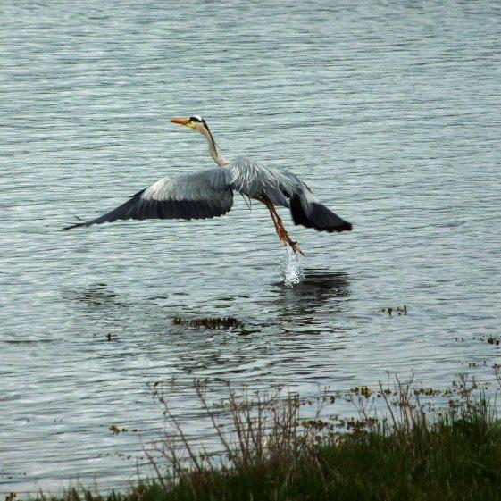 Flying Heron - Leitrim River | Catherine Farmer