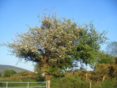 Tree on Verge   Crossbridge Development Committee
