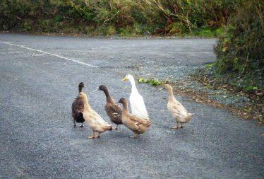 Ducks at Crossing   Crossbridge Development Committee