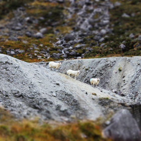 Curious Sheep   Amy Goldsmith