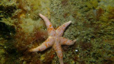 Bloody Henry Starfish | Wicklow Aquanauts