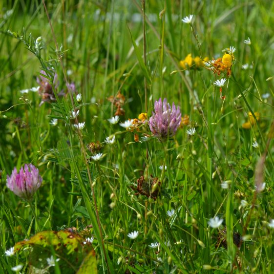 Birdsfoot Trefoil, Red Clover, Tufted Vetch and Stitchwort  - a colourful display of wildflowers   D. Burns