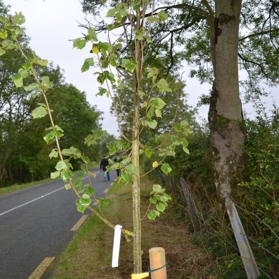 New roadside tree planting with native species | D. Burns