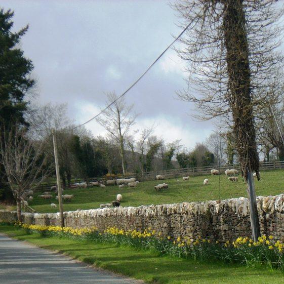 Daffodils in abundance | Ballinglen Development Committee