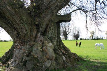 Old Sweet Chestnut Tree (John Wesley) at Rosanna