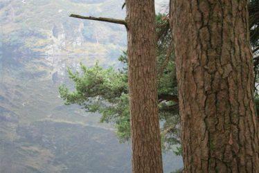 Scotts Pine along the Miners Road, Glendalough