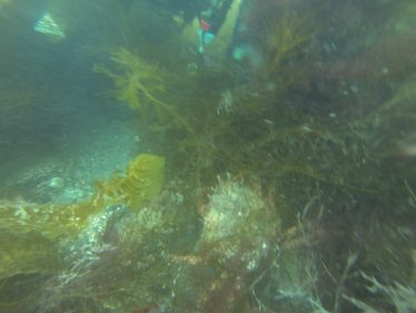 Spiny Spider Crab | Wicklow Aquanauts