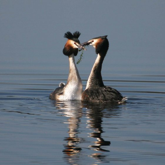 Great Crested Grebes Courtship Display | Jack Malins
