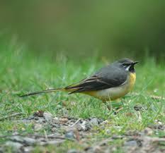 Grey Wagtail   www.birdwatchireland.ie