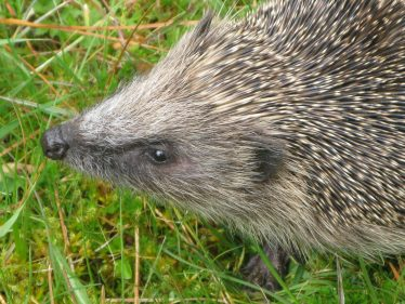 Hedgehog   Roundwood and District Community Council