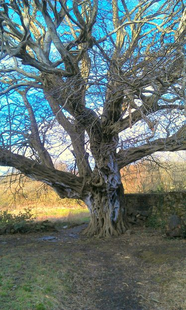 The Hornbeam Tree 400years old & the oldest living exotic tree in Ireland   Anne Mc Donald Dunganstown Castle 2014