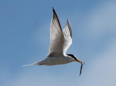 Little Tern Adult with Sandeel | Darren Ellis