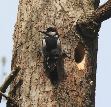Great Spotted Woodpecker at Nest Cavity | D. Coombes