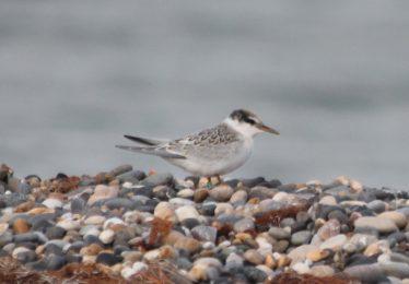Little Tern Fledgeling | Darren Ellis