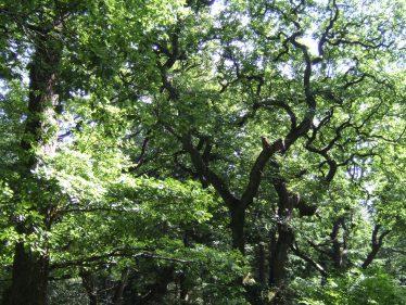 Oak Canopy | D. Burns