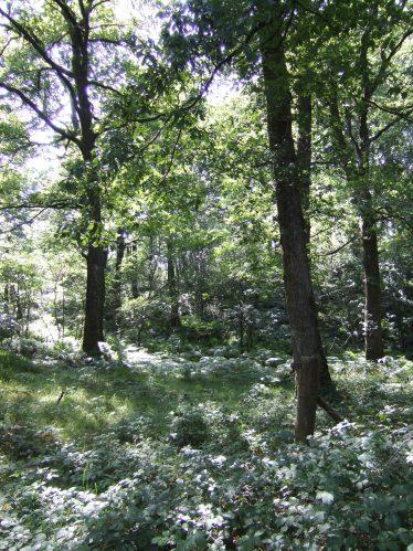 Oak Woodland | Faith Wilson
