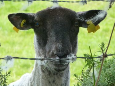 Sheep   Roundwood and District Community Council