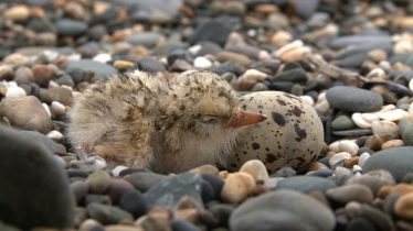 Little Tern Chick & Egg | Andrew Power and Peter Cutler