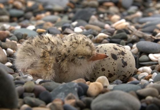 Kilcoole Little Tern Conservation Project
