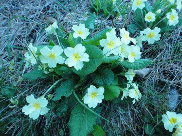 Wild primroses | Roundwood Tidy Towns