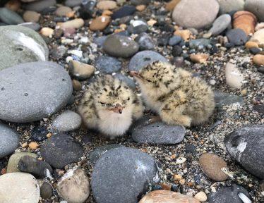Little Tern chicks | Eilis Hogan