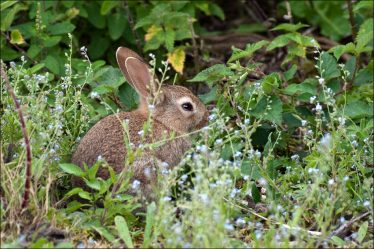 Rabbit in the nettles | The Askanagap Community Development Association