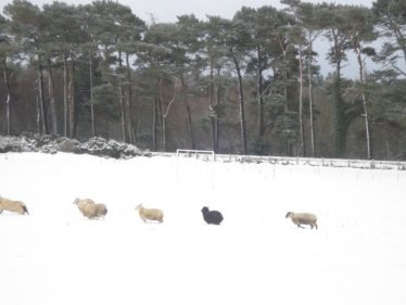 White sheep and one black one in the snow | Roundwood Tidy Towns